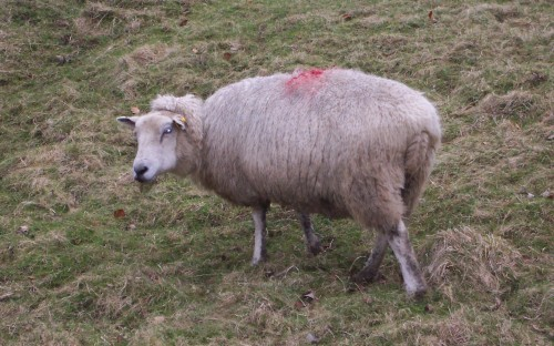 A pretty looking sheep giving me a curious look, Peak District (2006)