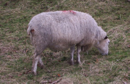 Another sheep, there's always more than one, Peak District (2006)