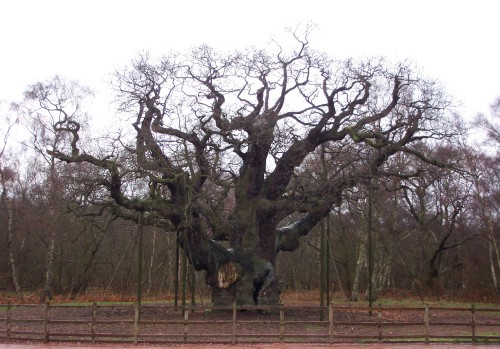 The Major Oak tree, one of the oldest trees in the world, ever! Vol II, Sherwood Forest (2006)