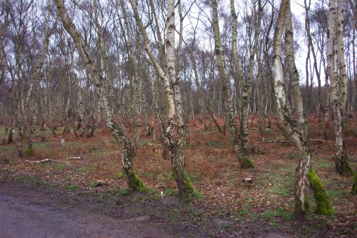 Some lovely looking trees, Sherwood Forest (2006)