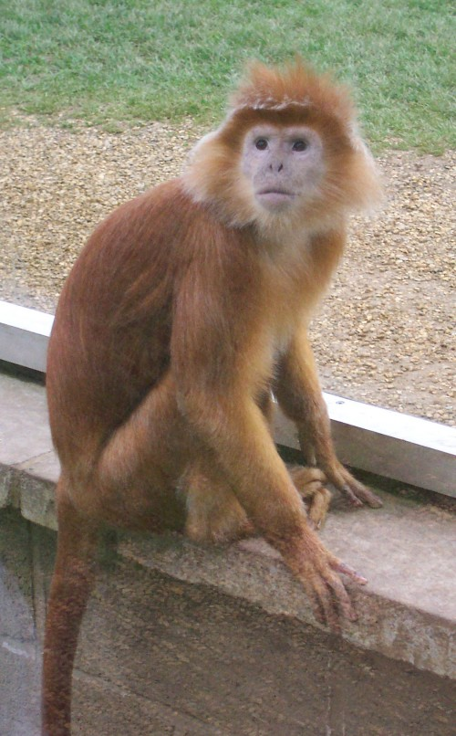 A funny looking monkey, Twycross Zoo (2006)