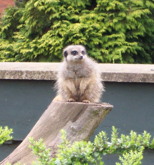 A Meerkat on the look out, Twycross Zoo (2006)