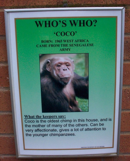 Coco used to be in the Senegalese army because no sane minded human would be, Twycross Zoo (2006)