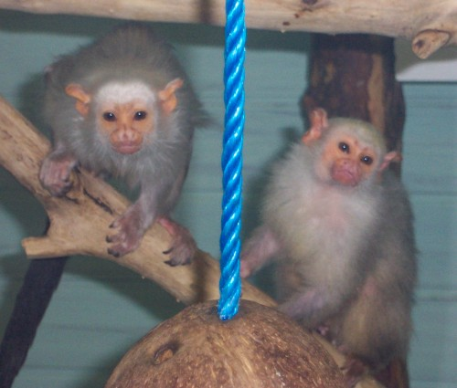 A couple of friendly looking monkeys pose for a picture, Twycross Zoo (2006)