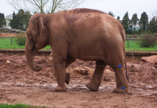 An elephant who is the same colour as the mud, Twycross Zoo (2006)