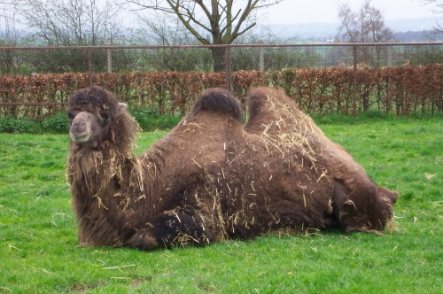 A smelly looking camel enjoying the nice weather, Twycross Zoo (2006)