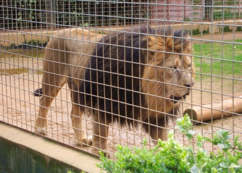 An angry looking lion paces up and down, Twycross Zoo (2006)