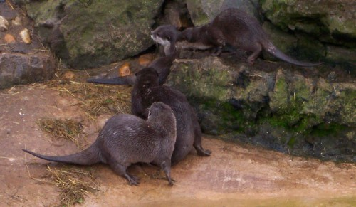 Some Otters at play, Twycross Zoo (2006)