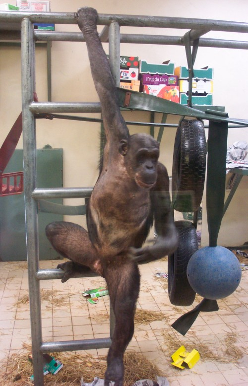 A monkey, with little hair, plays on his climbing frame, Twycross Zoo (2006)