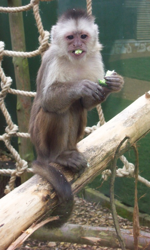 A broccoli eating monkey, who would have thunk it, Twycross Zoo (2006)