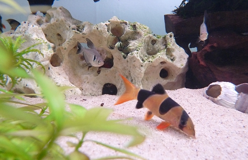 Another photo of one of my Clown Loaches. They can swim upside down. UK, 2010