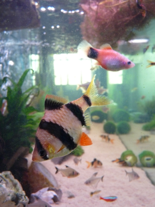 My big old Tiger Barb. We used to have 5 of them, but now he is the only one left. Also, one of my Mickey-Mouse Plattys, they breed like mad! UK, 2010