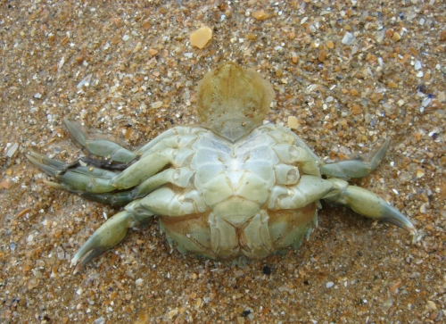 A poor crab on Omaha beach, France (2006)