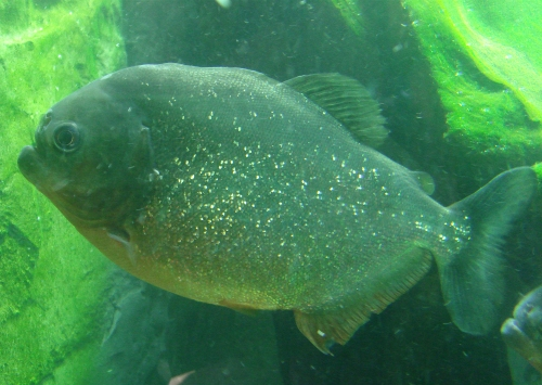 A Piranha, apparently they don't actually eat humans, even humans that are gushing blood, West Midlands Safari Park (2006)