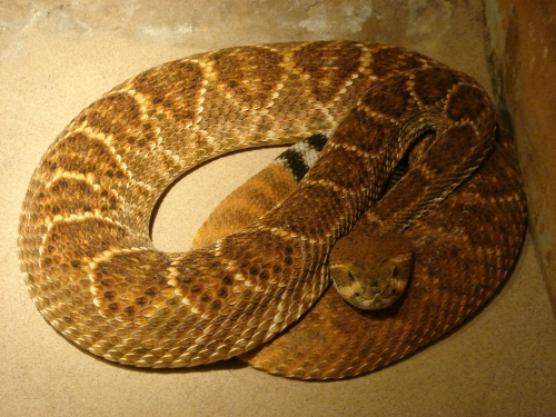 A rattle-snake, all curled up under a warm light, West Midlands Safari Park (2006)