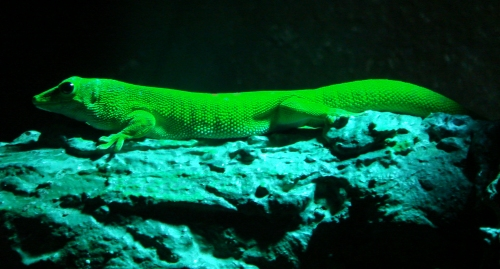 A glow-in-the-dark lizard, West Midlands Safari Park (2006)