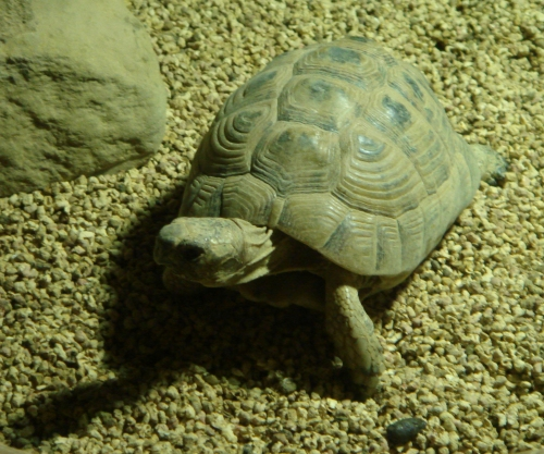 A little old tortoise, he spent most of his time chasing and perturbing other tortoises, West Midlands Safari Park (2006)