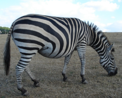 A well-fed Zebra walks over to the Lion enclosure, West Midlands Safari Park (2006)