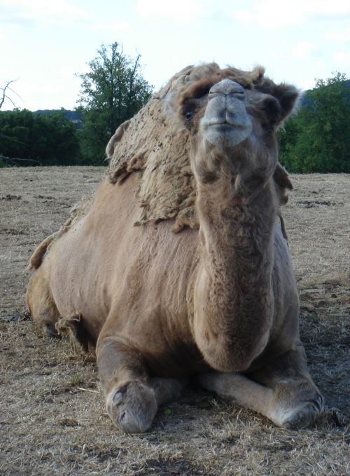 A smelly old camel relaxing on a slightly windy day, West Midlands Safari Park (2006)