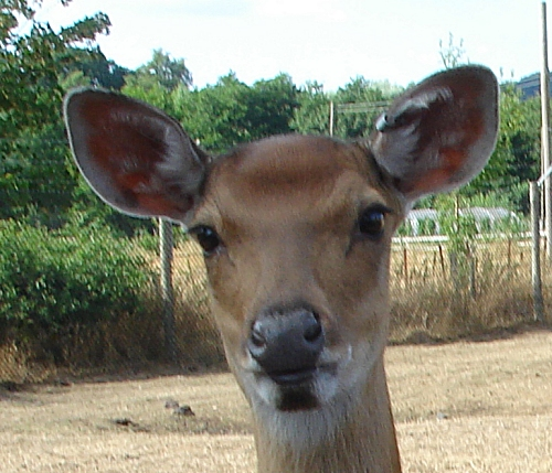 A cute looking deer, West Midlands Safari Park (2006)
