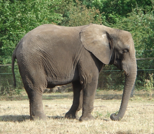 A safari park wouldn't be complete without an elephant, there were quite a few there, West Midlands Safari Park (2006)