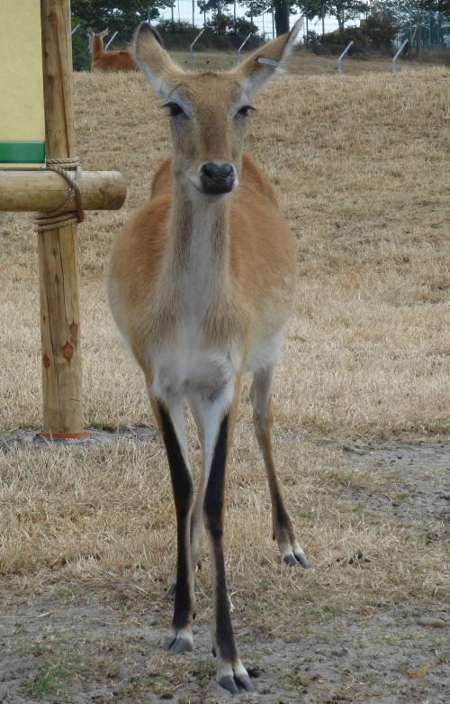 A young deer posing for the camera, West Midlands Safari Park (2006)