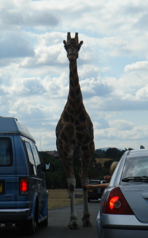 A giraffe walks amongst the cars eating from the hands of passengers, West Midlands Safari Park (2006)