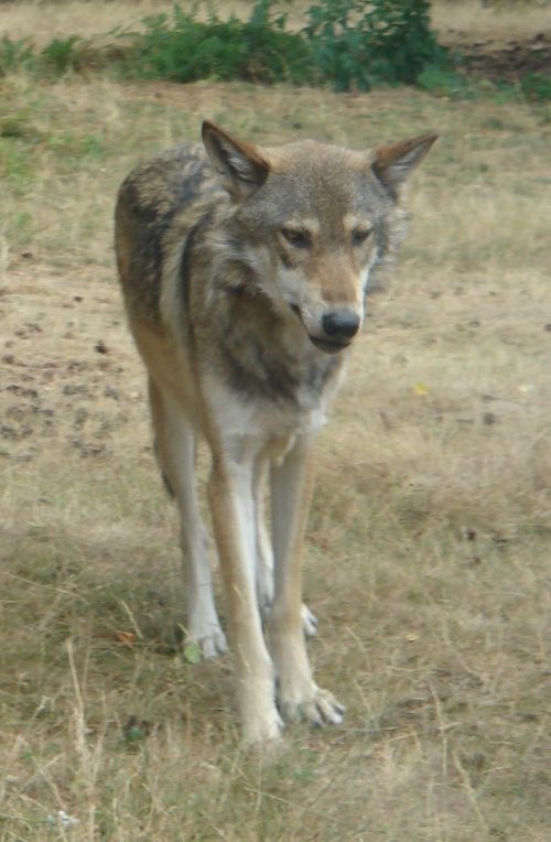 A cunning-looking wolf, West Midlands Safari Park (2006)
