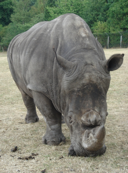 A big old tame rhino, they came close to the vehicles but didn't seem bothered by them, West Midlands Safari Park (2006)