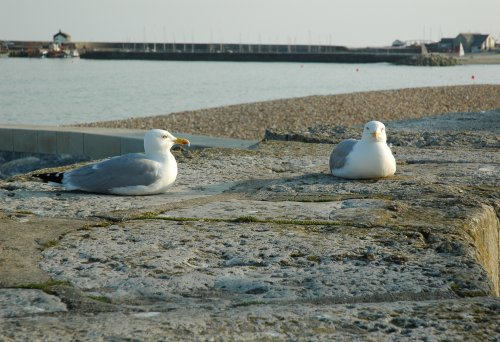 Some seagulls wondering what it would be like to have legs. Dorset (2007)