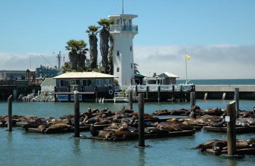 Lots and lots of noisy Seals take a rest from swimming in the bay. San Francisco (2007)