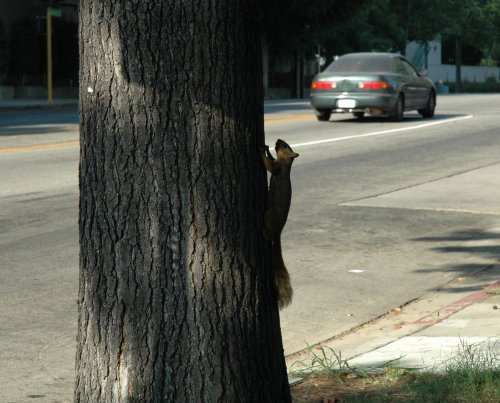 A squirrel, waiting to cross the road. Be careful! Los Angeles (2007)